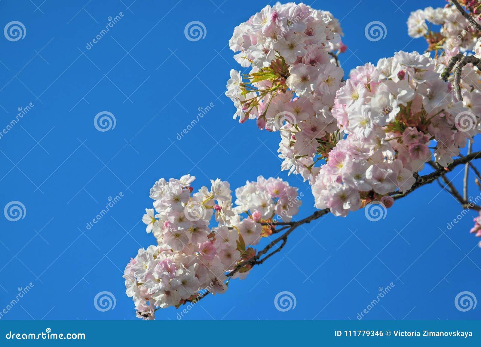 Blossom of pink sakura flowers on a spring cherry tree branch. Macro close up shot