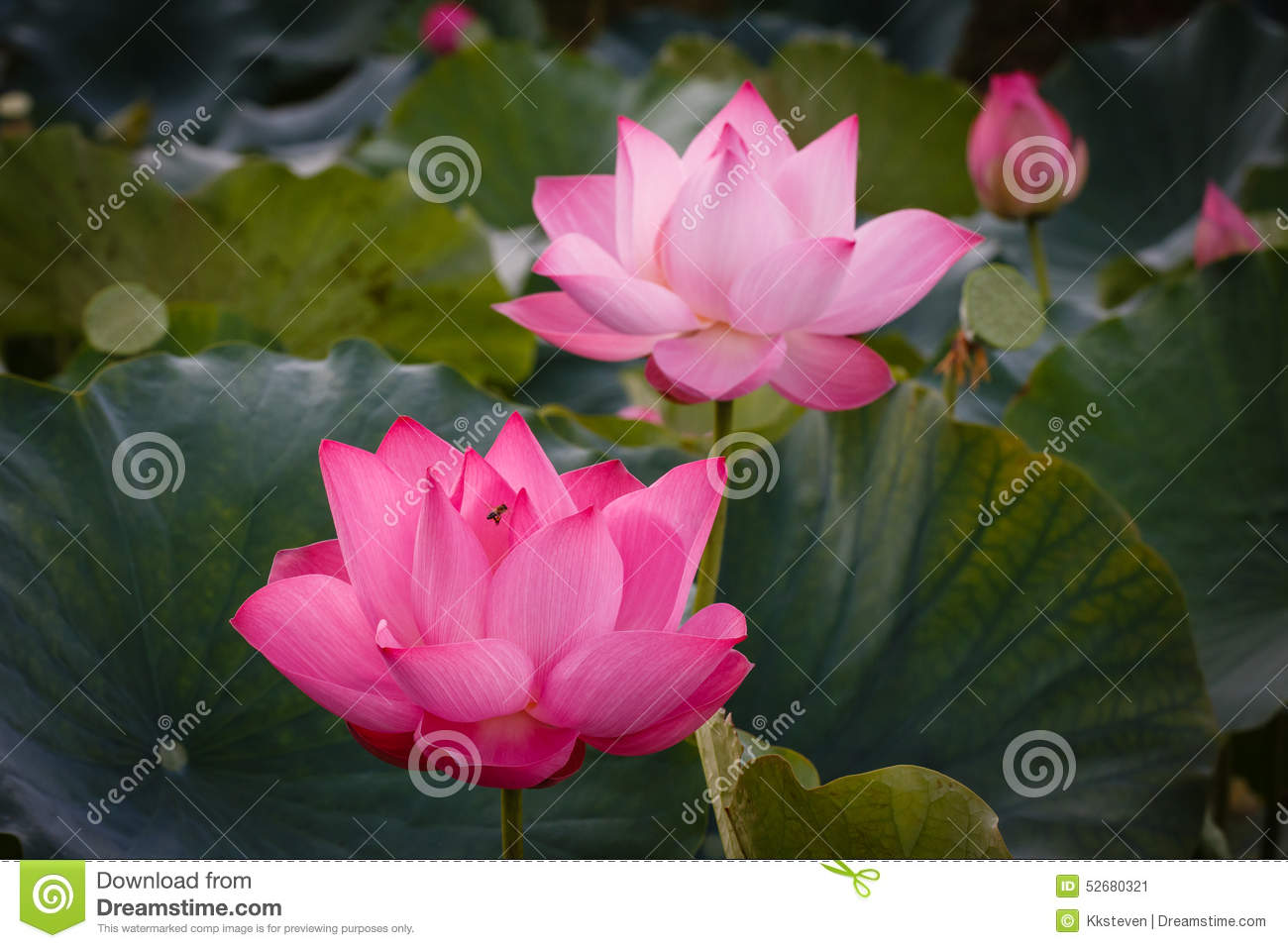 The Blossom Time Lapse Of Lotus Flower With The Bee Stock Image