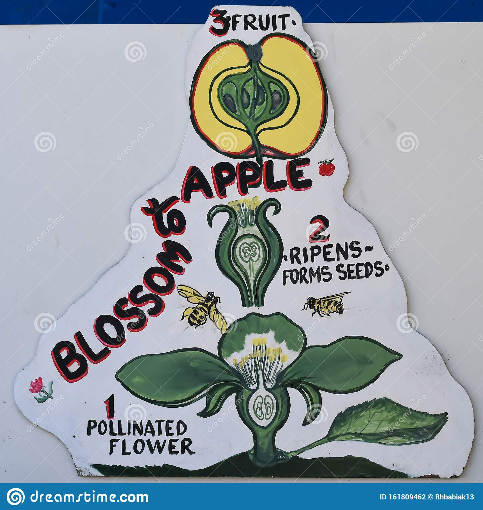 From Blossom To Apple Diagram Stock Illustration