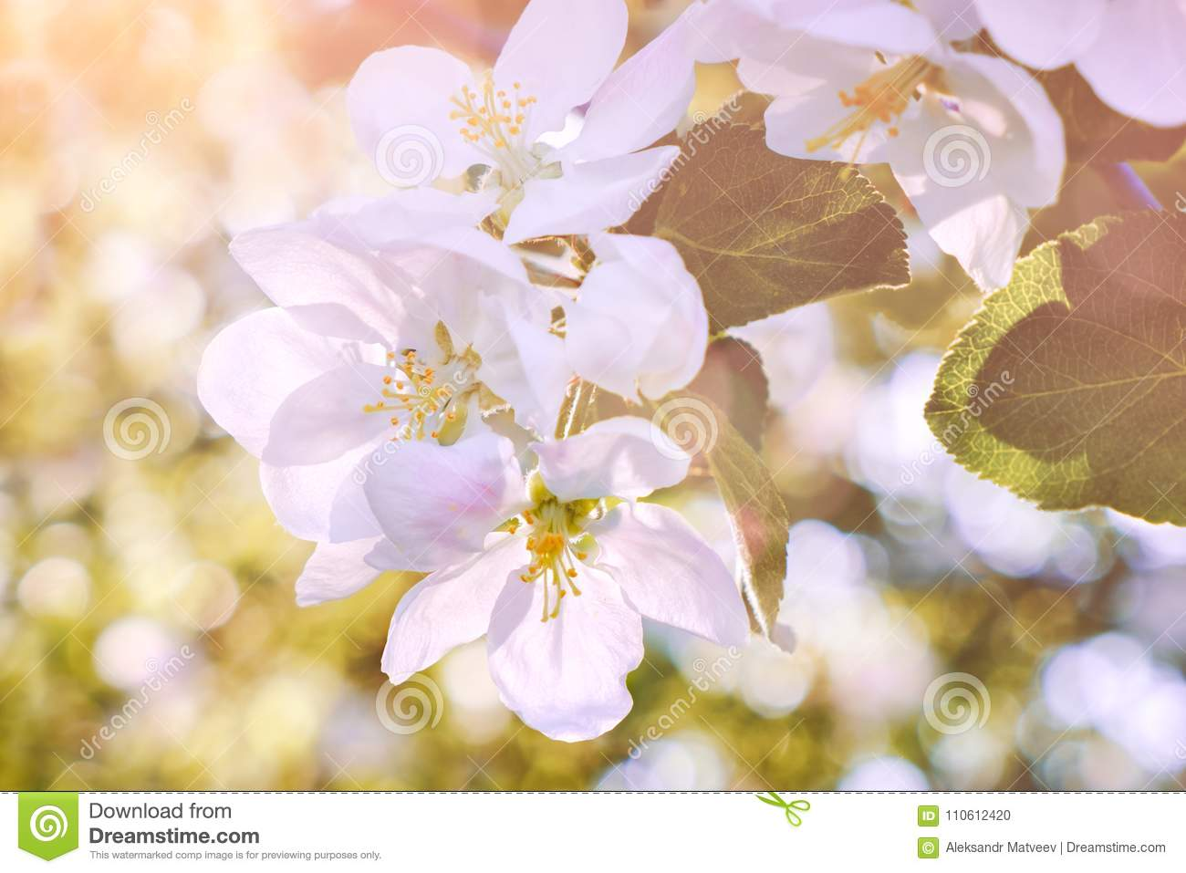 Blossom tree over nature background/ Spring flowers/Spring Background