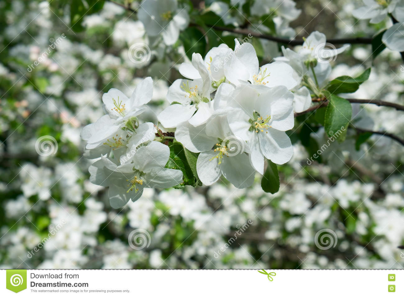 Blossom Tree Over Nature Spring Flowers Horizontal Background Stock