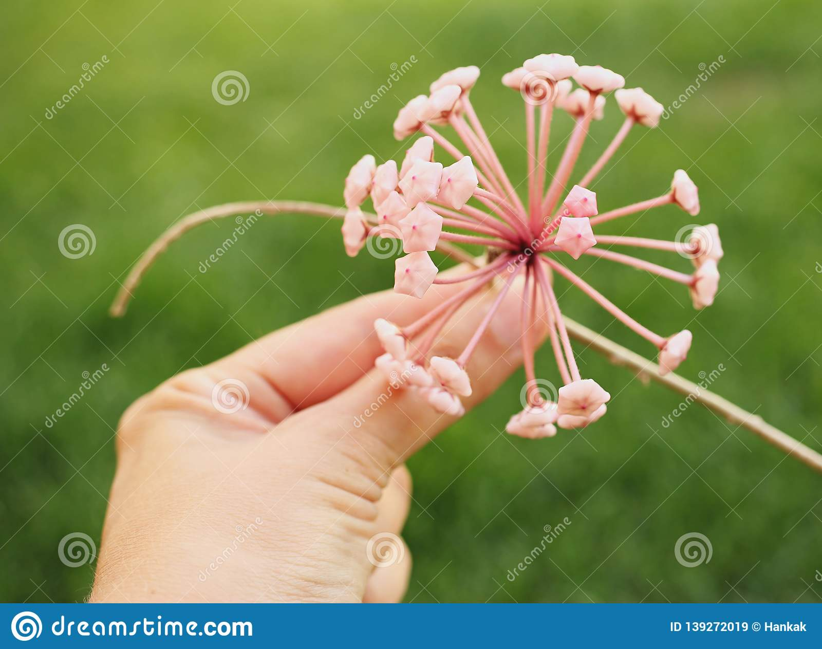 Blossom of wax plant hold in hand isolated on green bokeh background. Woman. Porcelainflower. Hoya carnosa