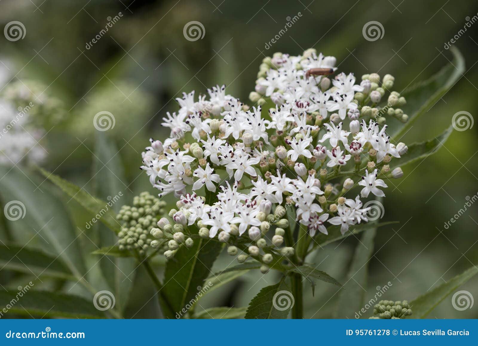 Blossom Of White Flowers From Viburnum Shrub Stock Photo Image Of