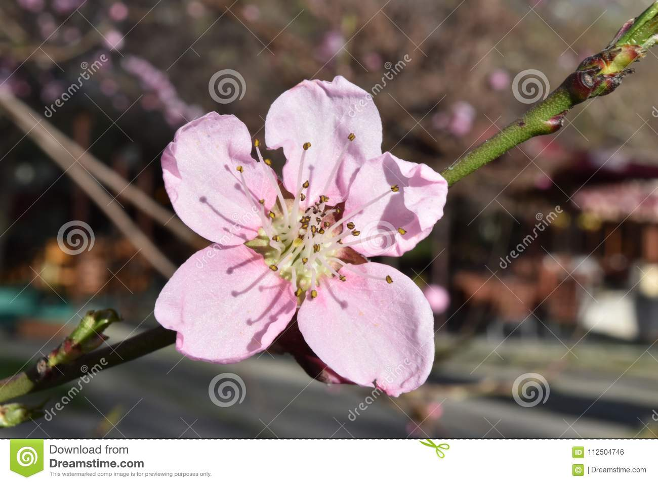 Blossomed Tree Branch Stock Photo Image Of Green Beautiful 112504746