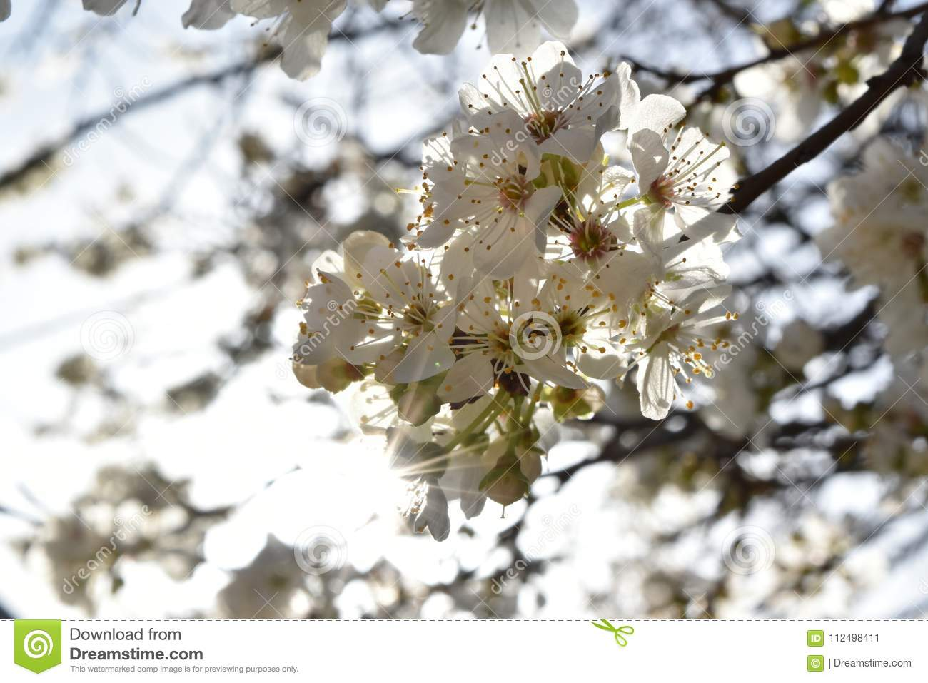 Blossomed Tree Branch Stock Image Image Of Plants Flower 112498411