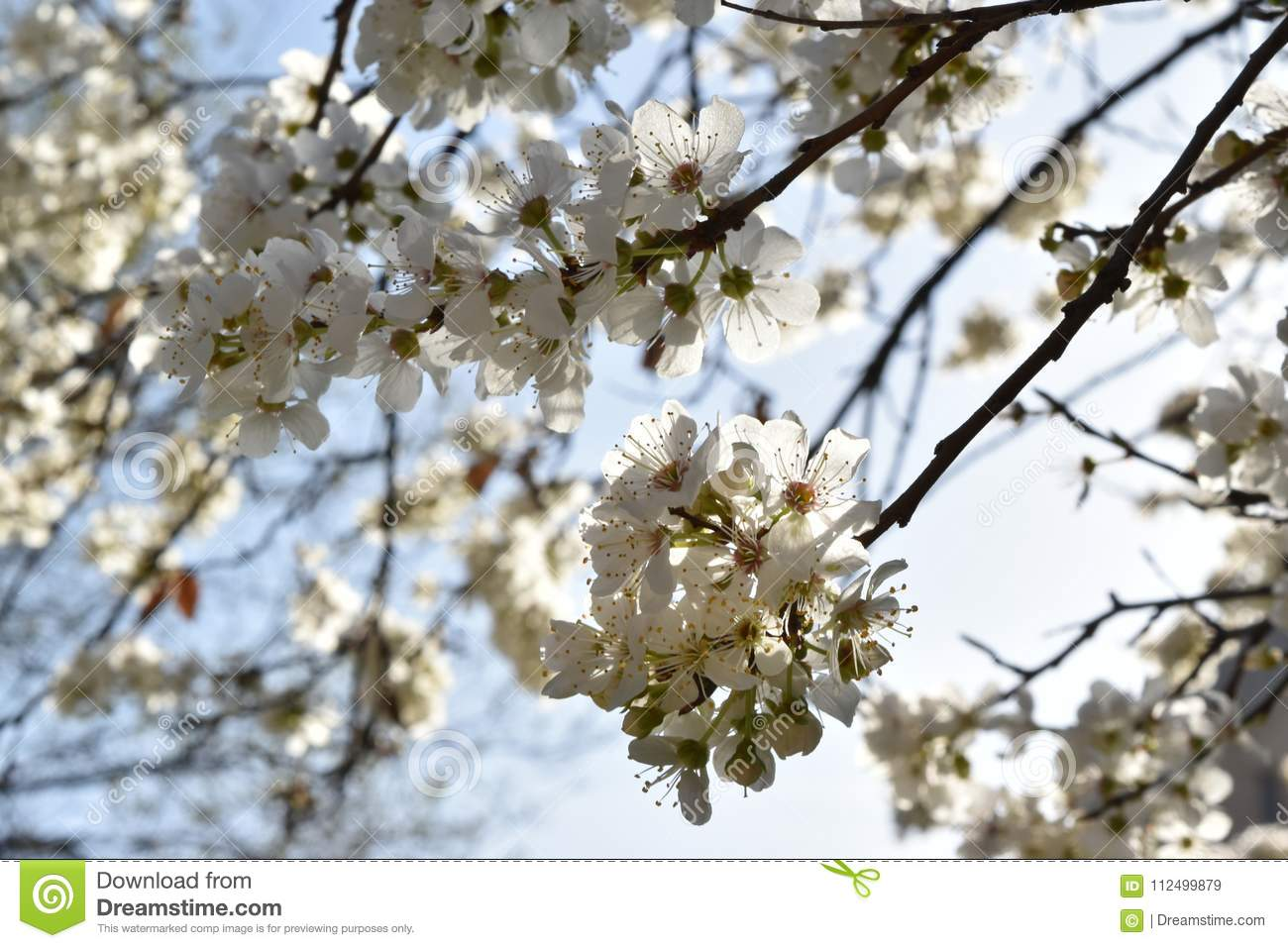 Blossomed Tree Branch Stock Image Image Of Crimson 112499879