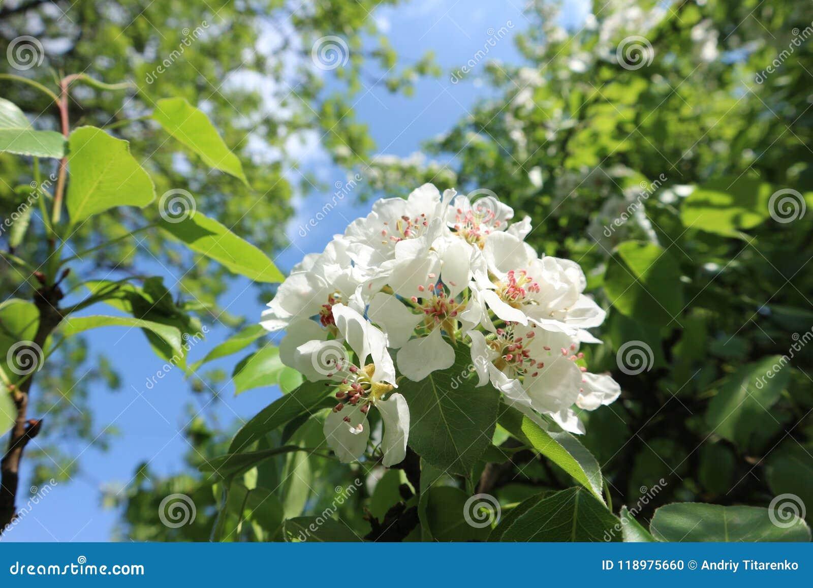 Blossoming дерево весной