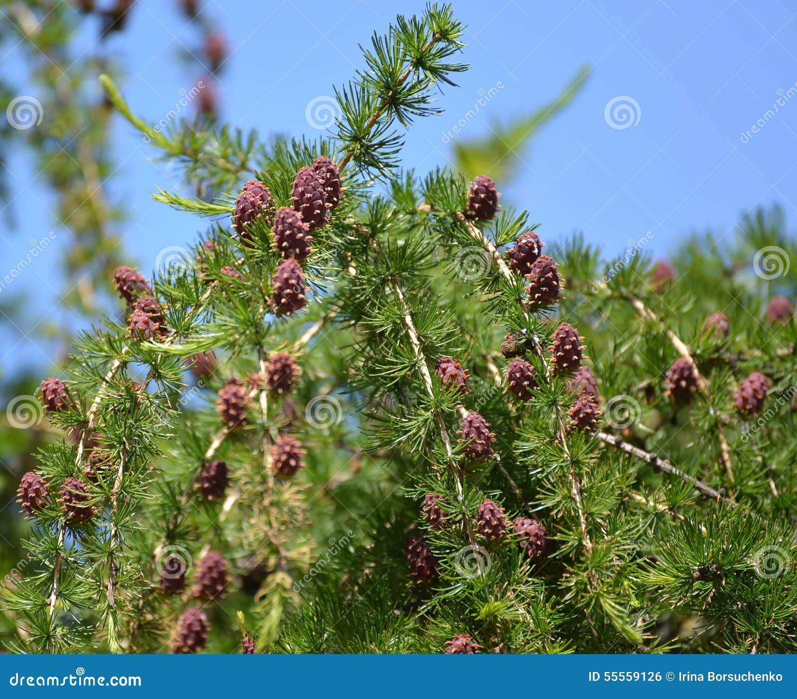 Лиственница Европейская (Larix Decidua) Полное описание растения ... | 1156x1300