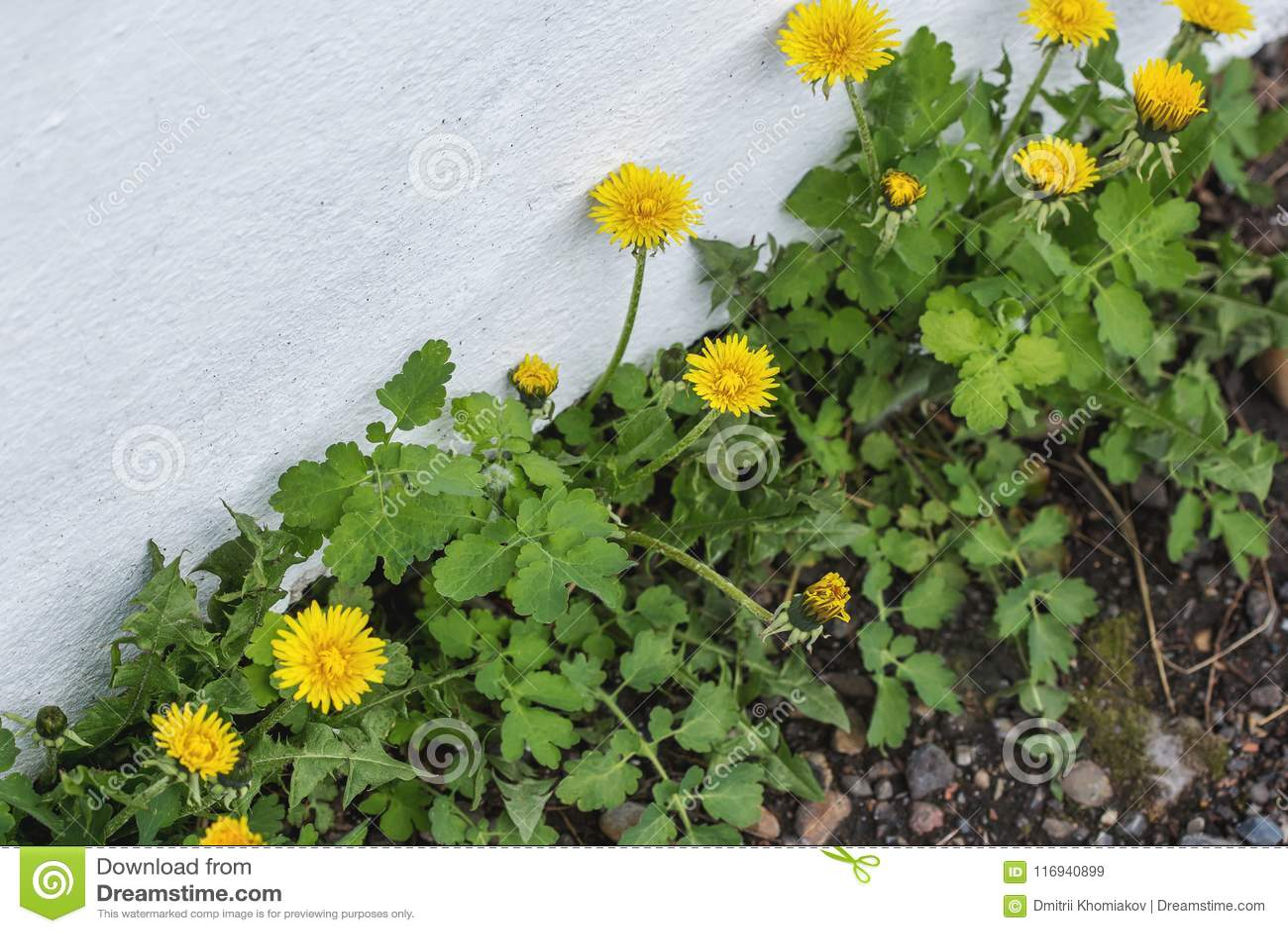 Blossoming одуванчик засаживает расти в отказе стены