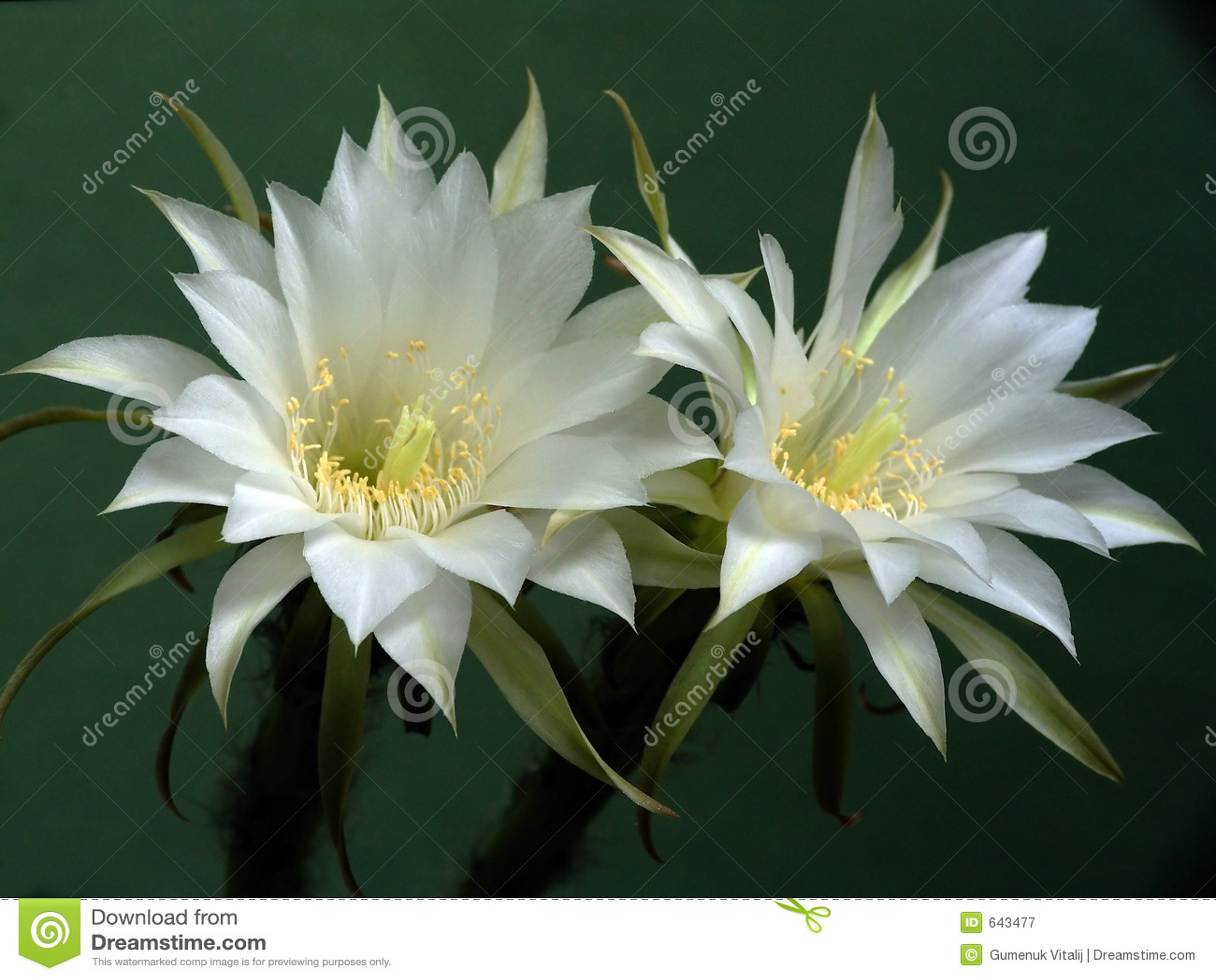Download Blossoming семья Echinopsis кактуса Стоковое Изображение - изображение насчитывающей кактус, цветок: 643477
