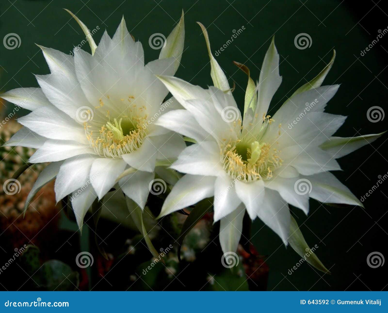 Download Blossoming семья Echinopsis кактуса Стоковое Фото - изображение насчитывающей заводы, завод: 643592