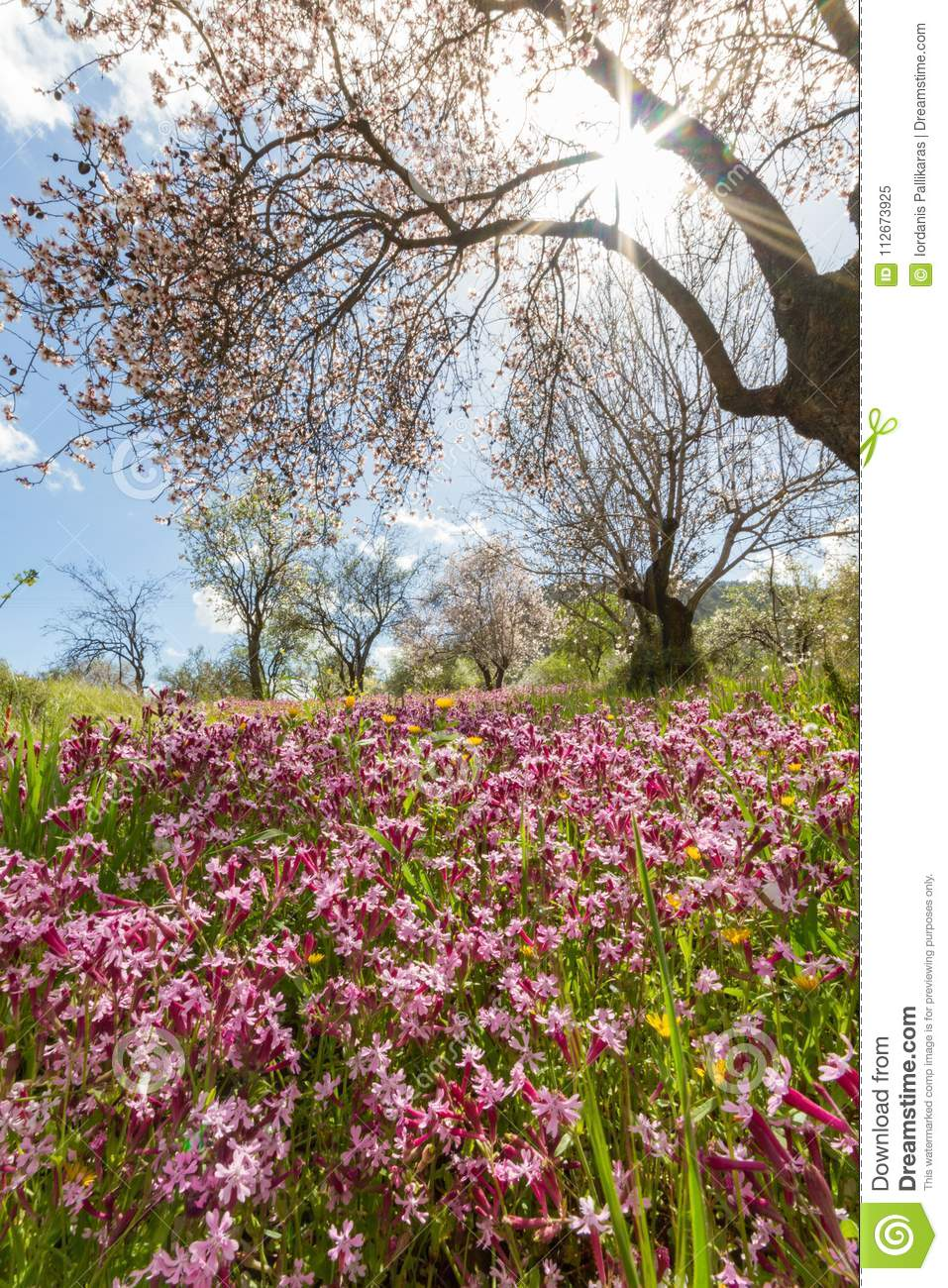 Blossoming Almond Tree Branches And Purple Flowers In A Field Du