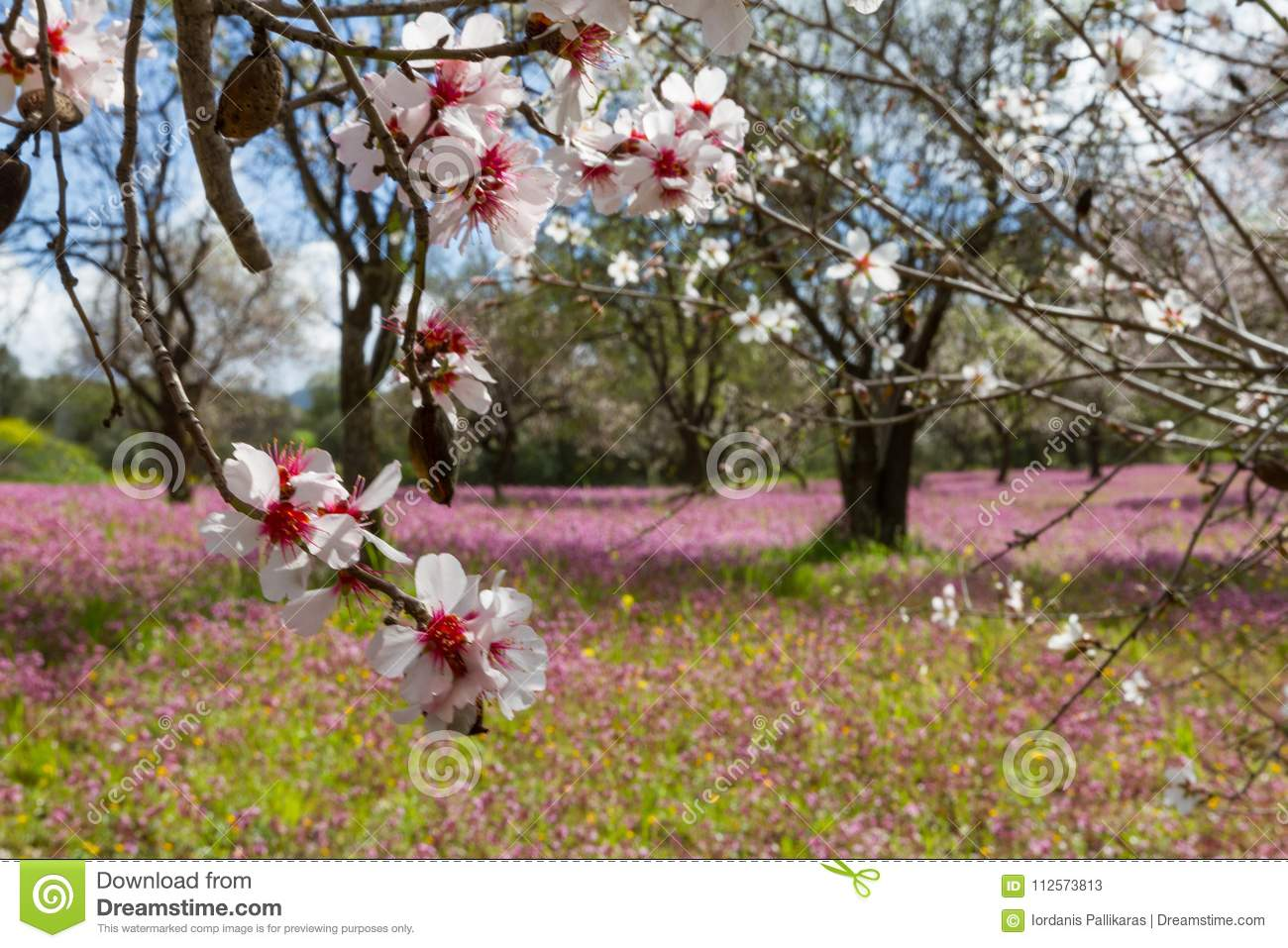 Blossoming Almond Trees In A Field With Purple Flowers In Spring