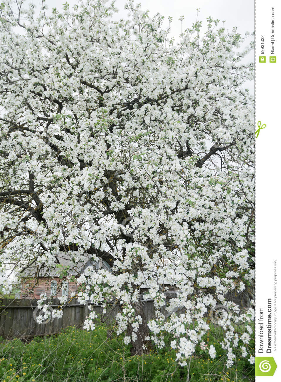 Blossoming apple tree in spring garden covering with snowy white download blossoming apple tree in spring garden covering with snowy white flowers at old wood farm mightylinksfo