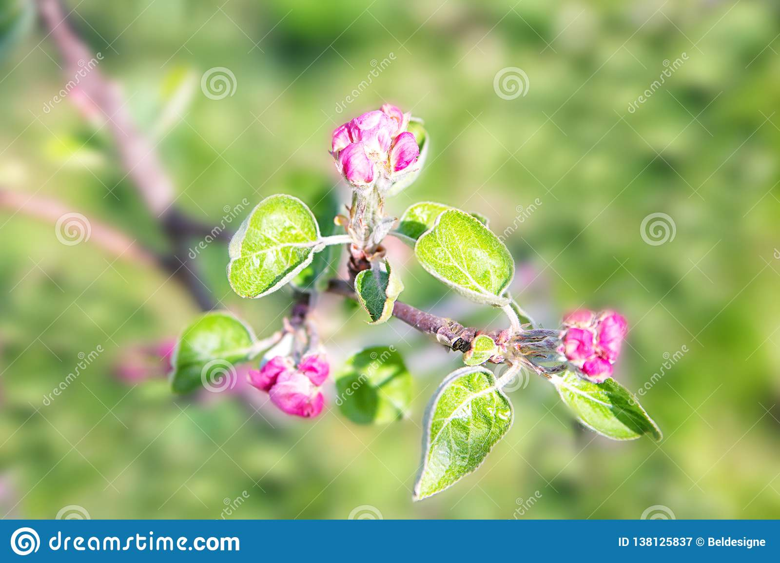 Blossoming of the apple tree in spring time with pink beautiful flowers. Macro image with copy space. Natural seasonal background