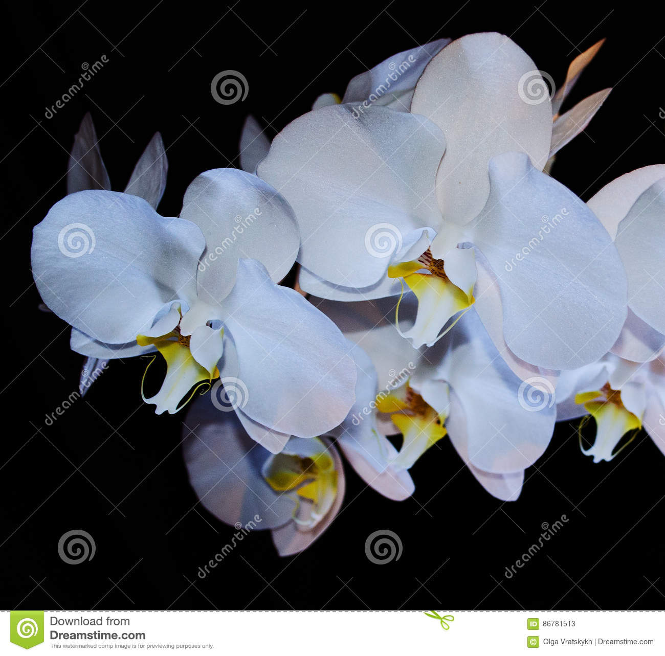 Blossoming Beautifully Branch Of White Phalaenopsis Orchid Flower