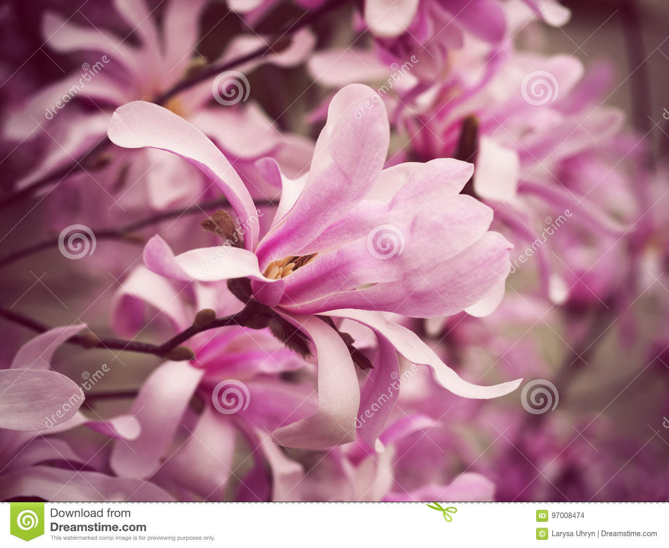 Blossoming Branches Of Magnolia Pink Flowers Stock Photo Image Of