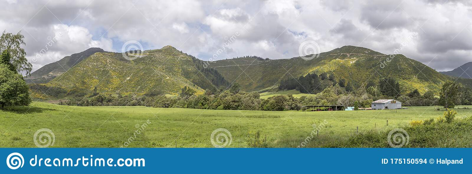Blossoming Broom Shrubs On Slopes In Hilly Green Countryside At Rai Valley Marlborough New Zealand Stock Photo Image Of Touristic Fields 175150594