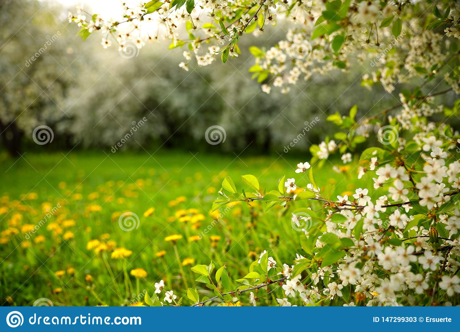 A blossoming cherry orchard and dandelions in the grass on a spring day