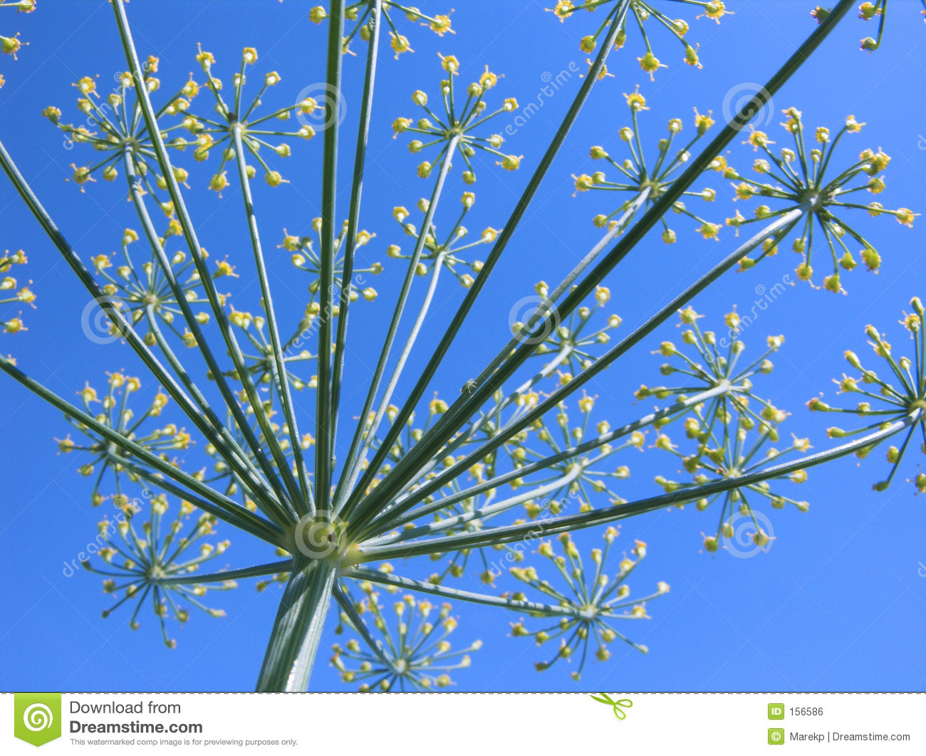 Blossoming dill