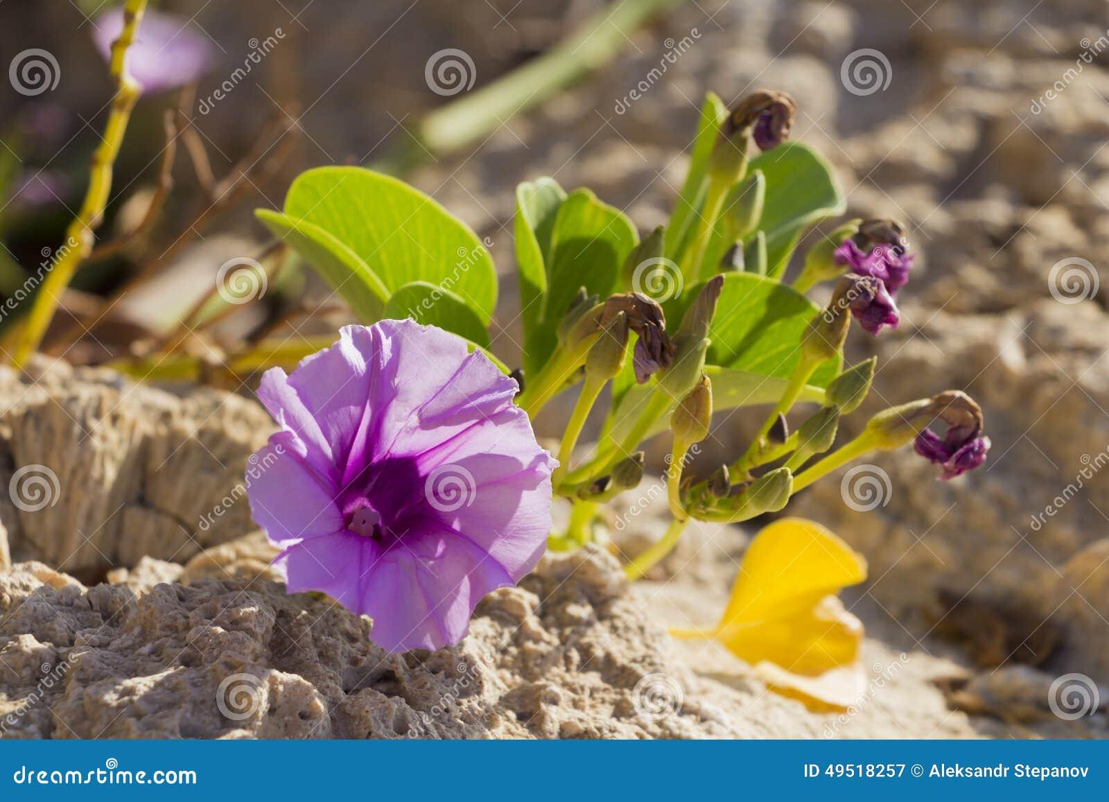 Blossoming Ipomoea pes-caprae closeup
