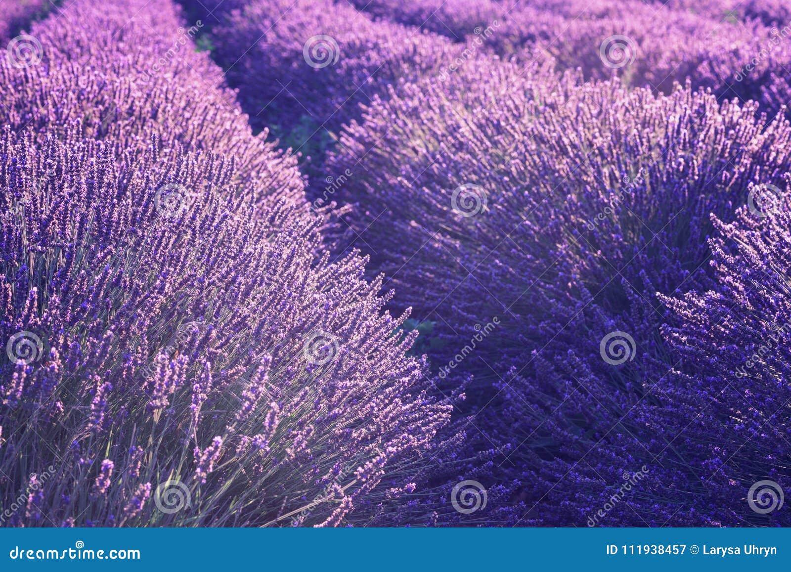 Natural floral lavender background, ultra violet concept - color of the year 2018