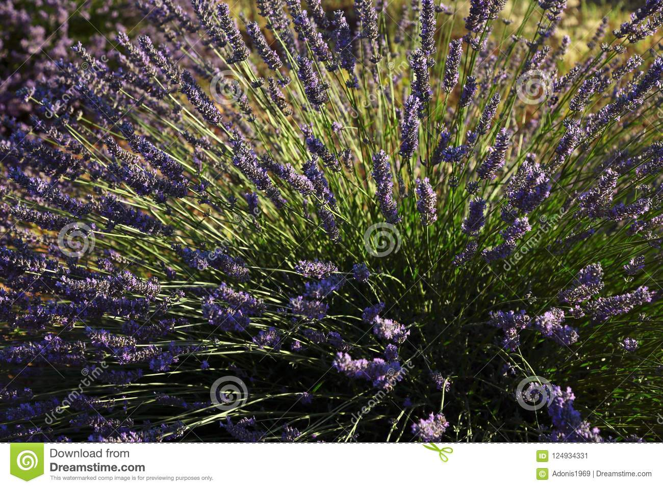 Lavender plant in field