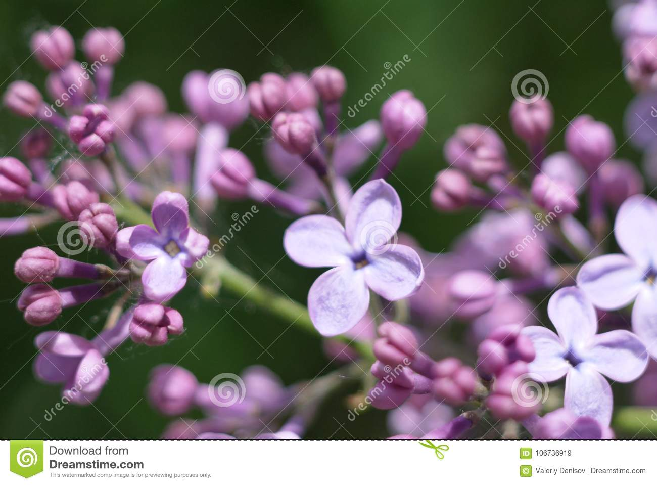 The Blossoming Lilac Stock Image Image Of Received 106736919