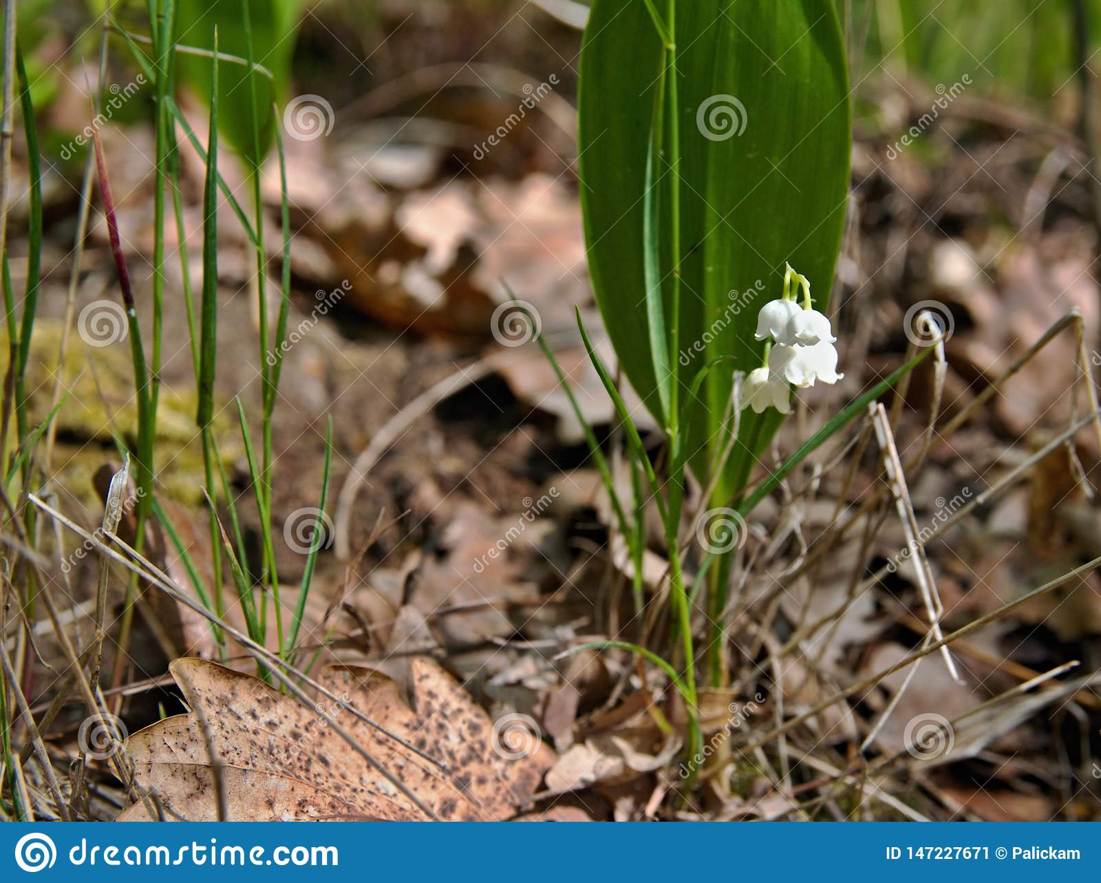 Blossoming lily of the valley, Convallaria majalis