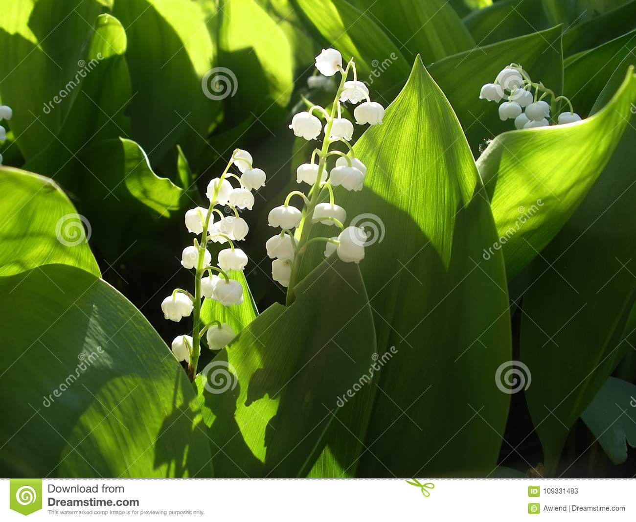 Blossoming Lily Of The Valley Stock Image Image Of Blossom