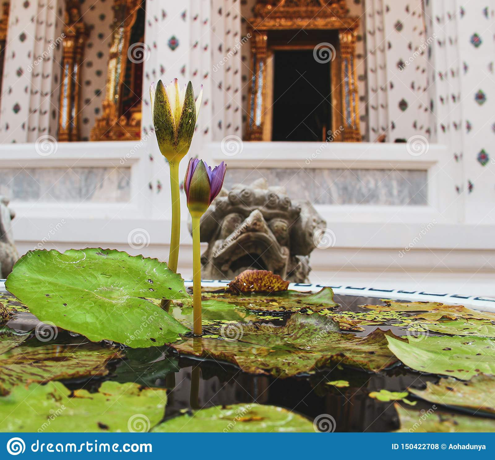 Blossoming lotus flower in buddhist temple