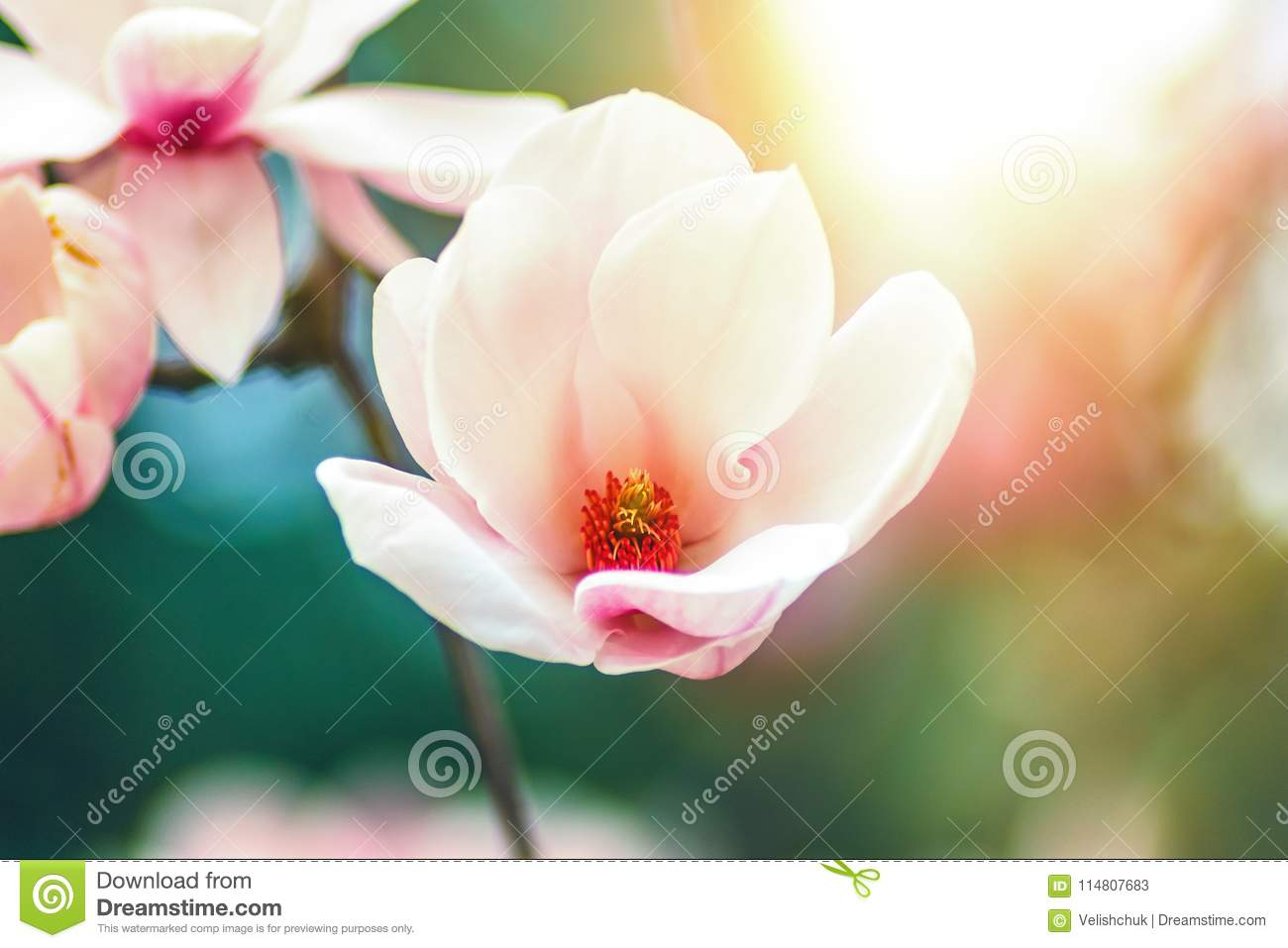 Blossoming Of Magnolia White Flowers In Spring Time Stock Image