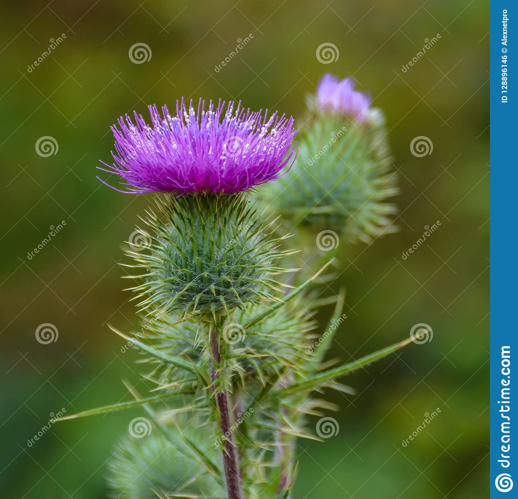 Blossoming Milk Thistle flower. Milk Thistle `Silybum marianum`. Also known as Marian`s Thistle, St. Mary`s Thistle, Holy Thistle
