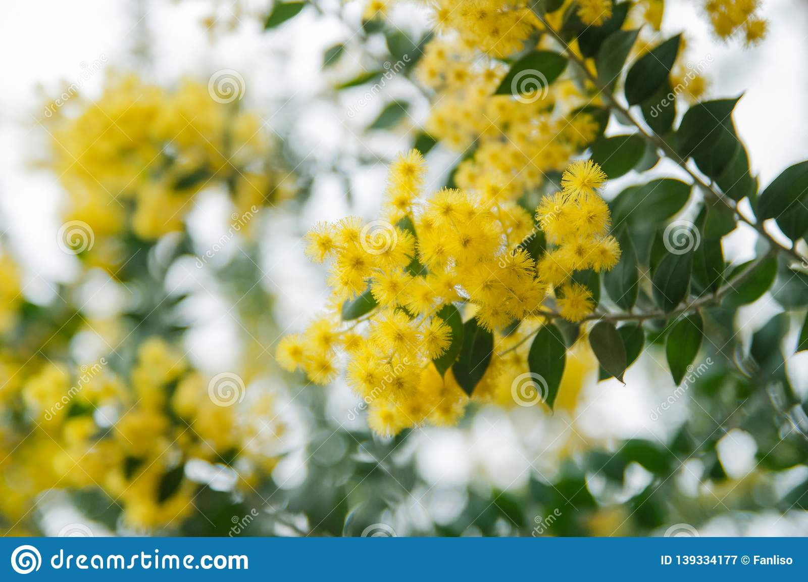 Blossoming Of Mimosa Tree Acacia Podalyriifolia Yellow Flowers In