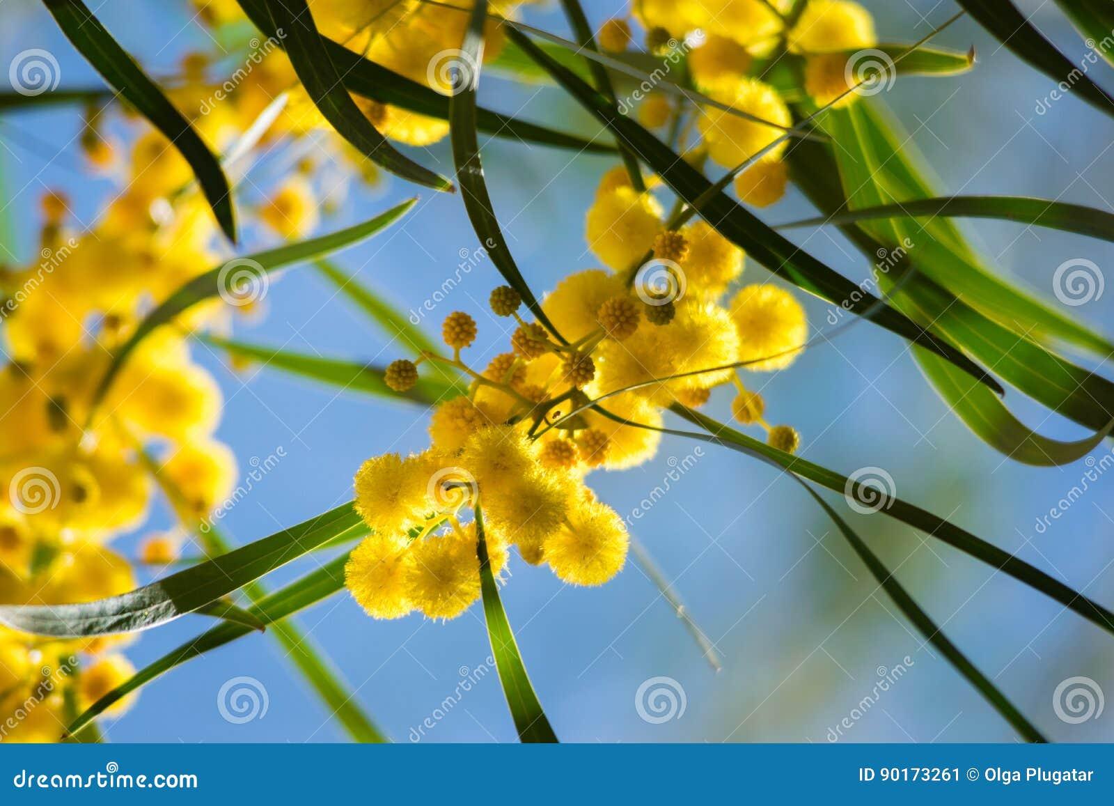 Blossoming Of Mimosa Tree Acacia Pycnantha Golden Wattle Close Up