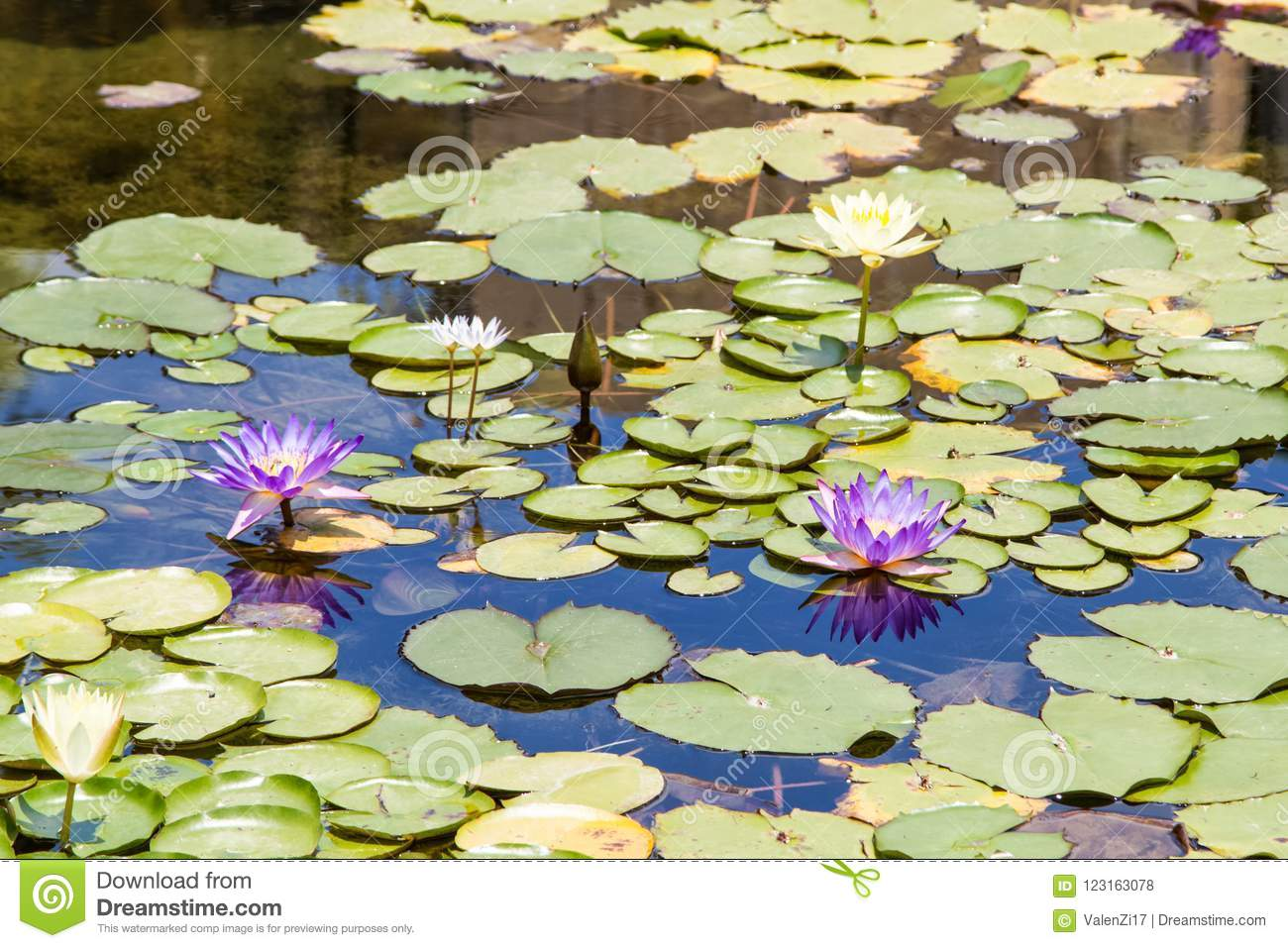 Purple and white water lilies in pond