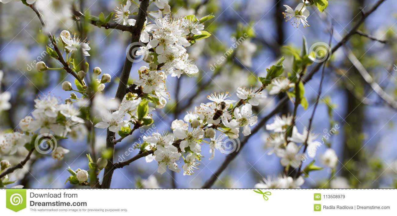 Blossoming Orchard In The Spring Blooming Plum Orchard Tree With A