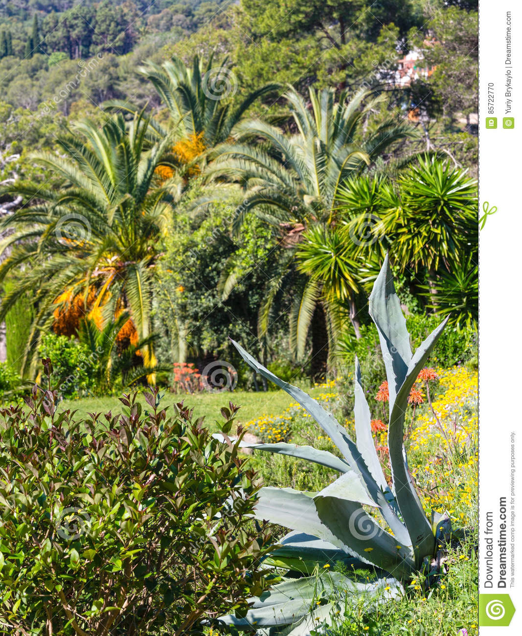 Blossoming Palm Tree And Aloe Plant Stock Photo Image Of Scenery