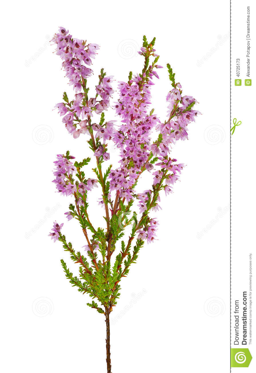 Blossoming Pink Heather Branch Isolated On White Stock