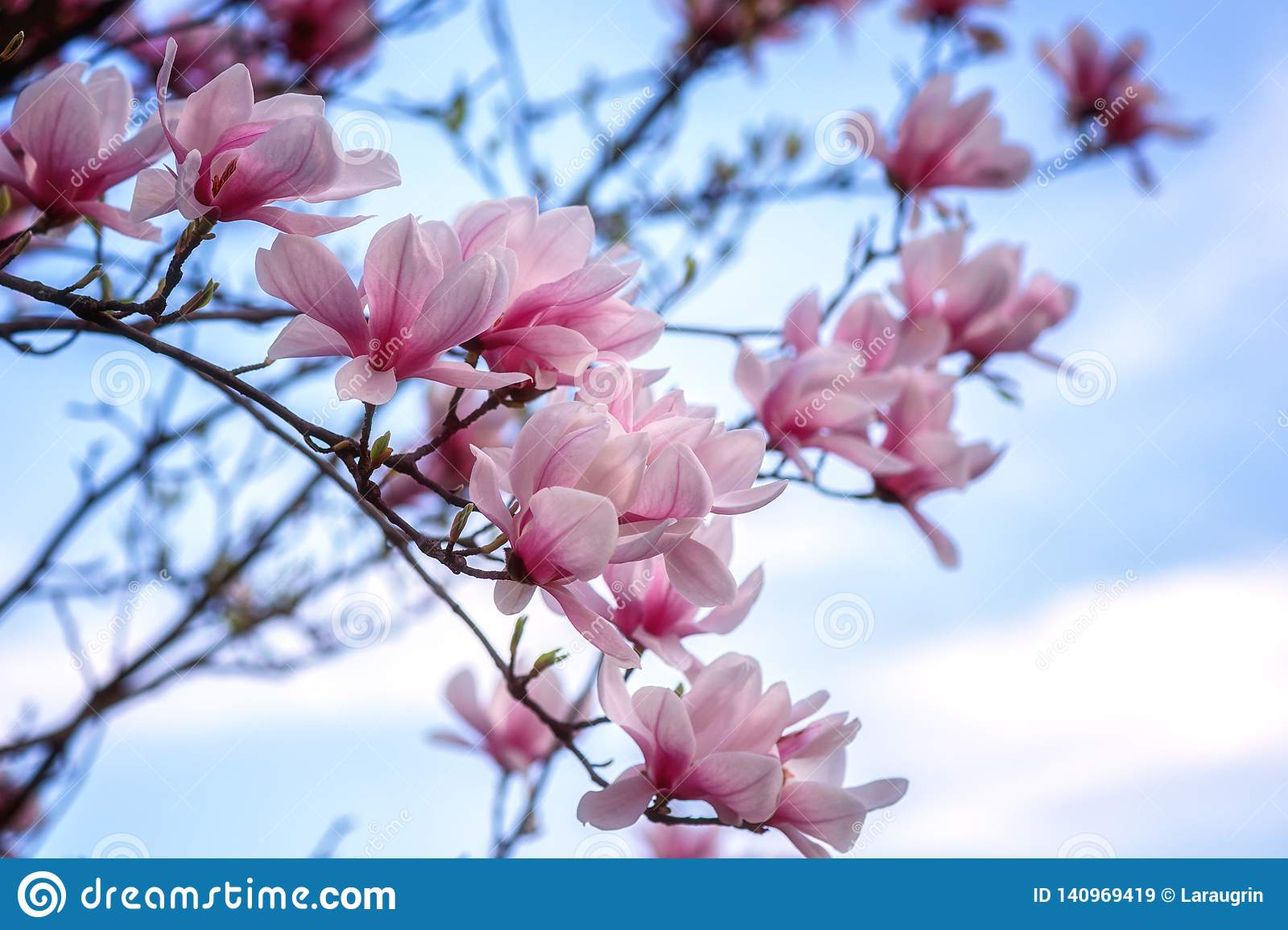 Blossoming Of Magnolia Pink Flowers In Spring Garden Natural