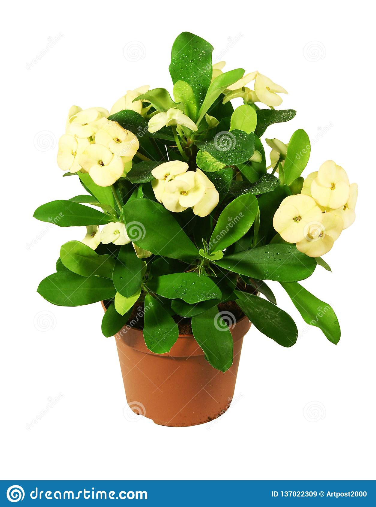 Blossoming plant in flowerpot on white background.