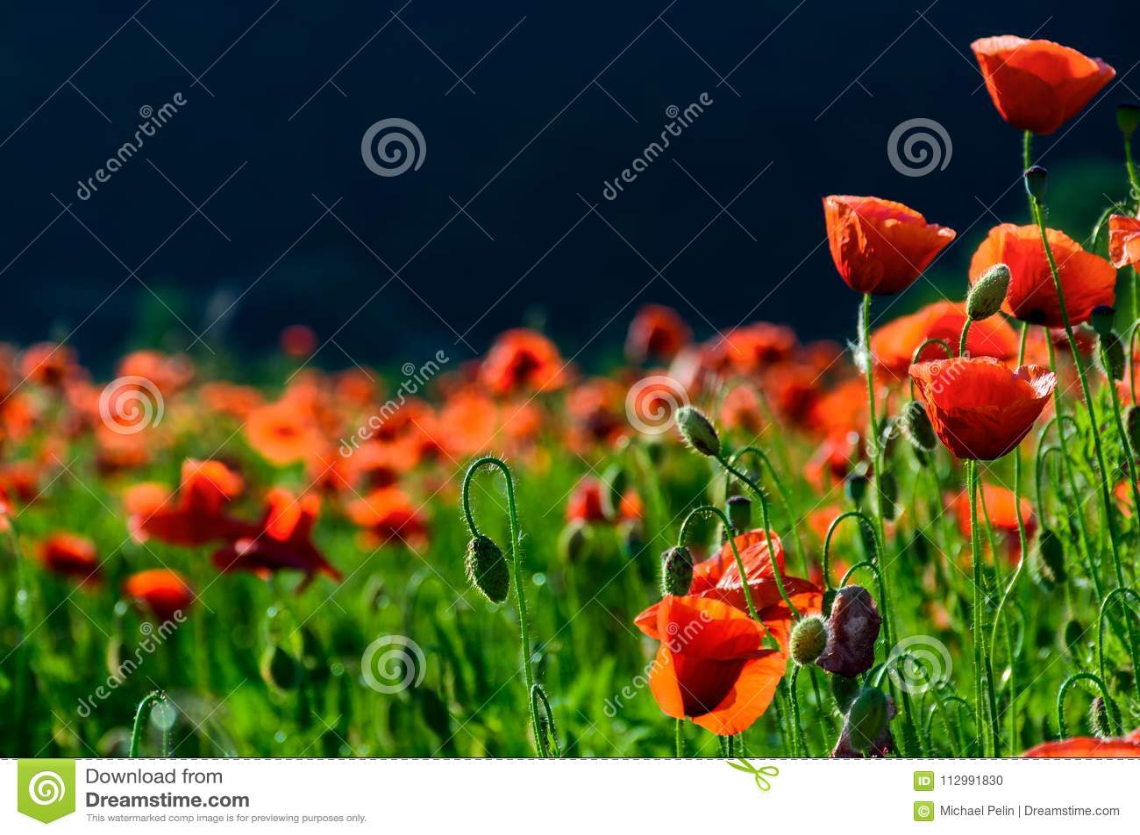 Blossoming poppy field