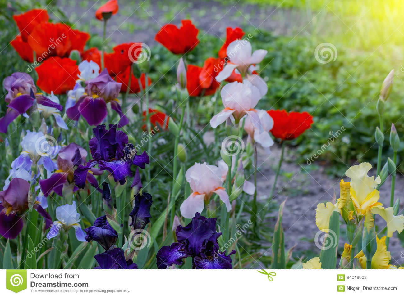 Blossoming Poppy And Gladiolus Flowers Stock Image Image Of Petal