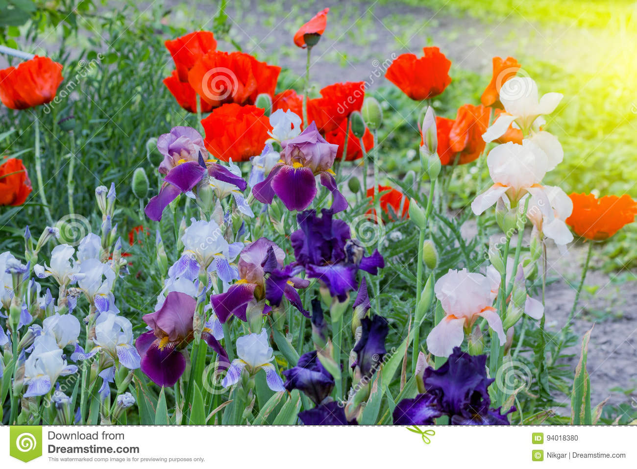 Blossoming Poppy And Gladiolus Flowers Stock Photo Image Of White
