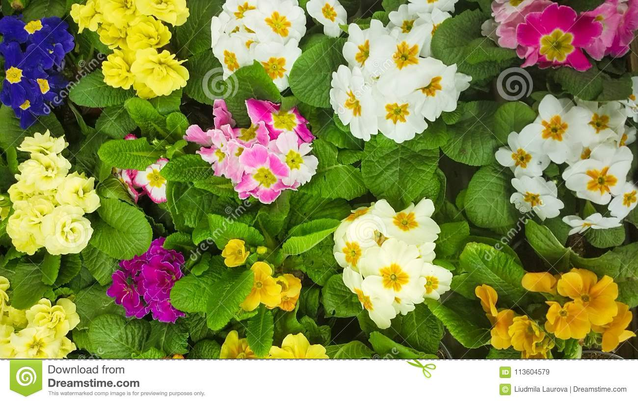 Blossoming Primula Vulgaris Flowers Stock Image Image Of