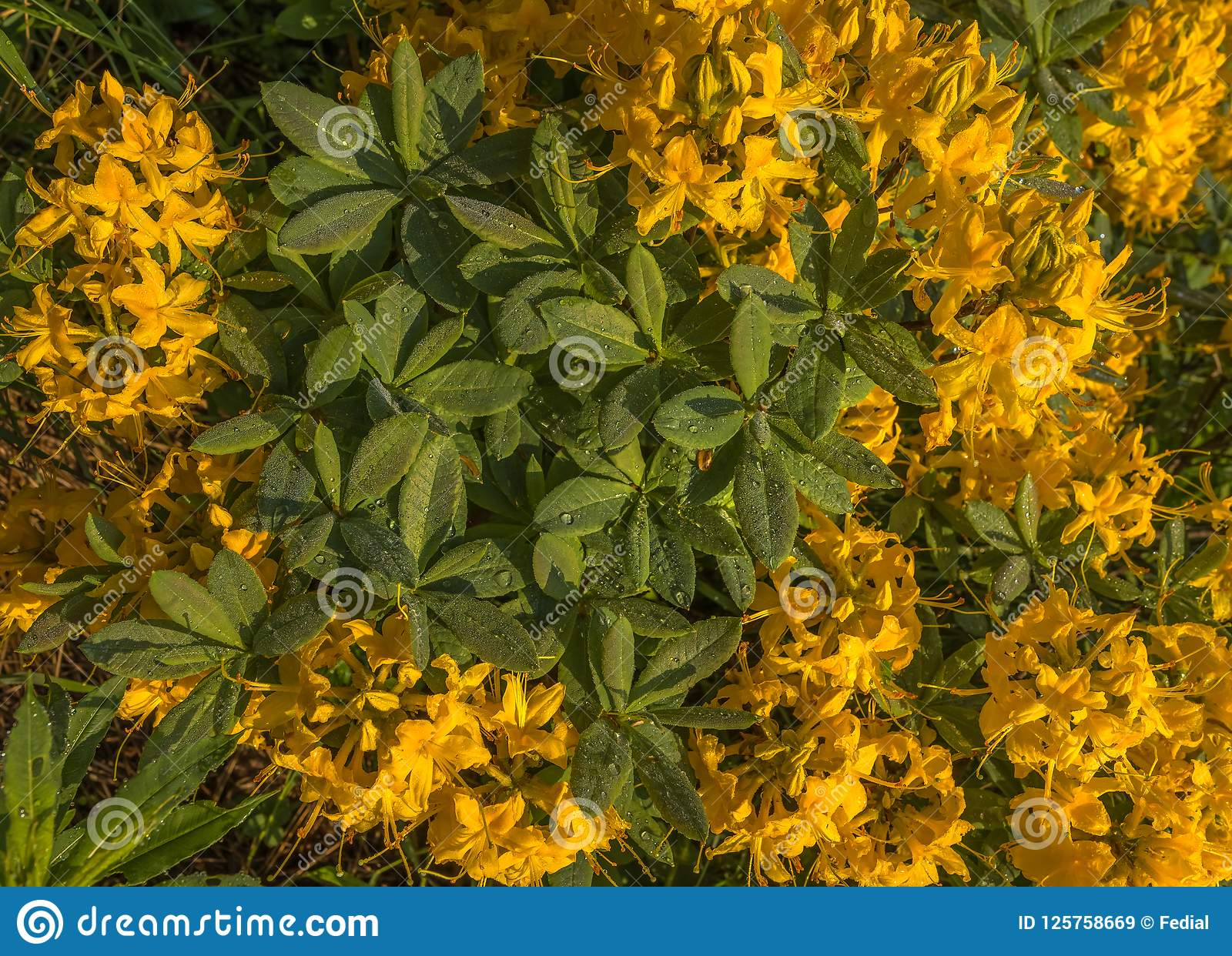 Rhododendron Yellow In The Mountains Dawn Large Flowers Stock