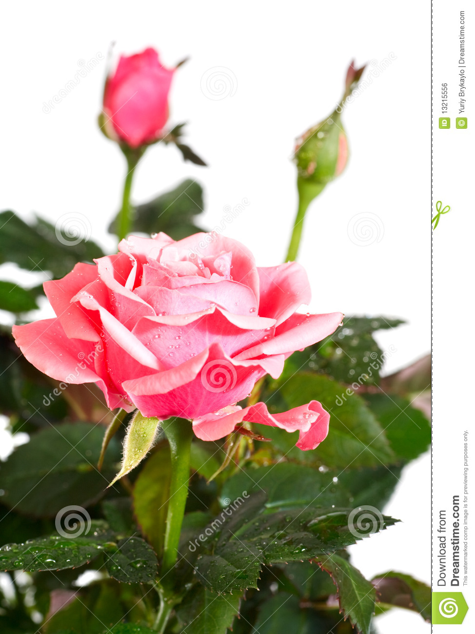 Blossoming Rose Plant With Dew Drops Royalty Free Stock