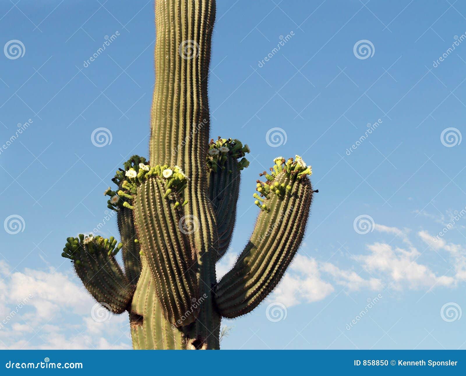 Blossoming saguaro ii