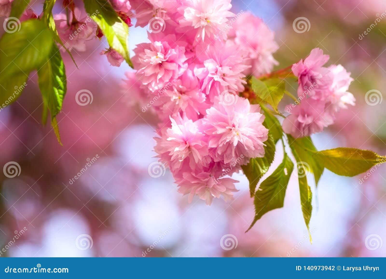 Blossoming Of Sakura Pink Flowers In Spring Garden, Natural