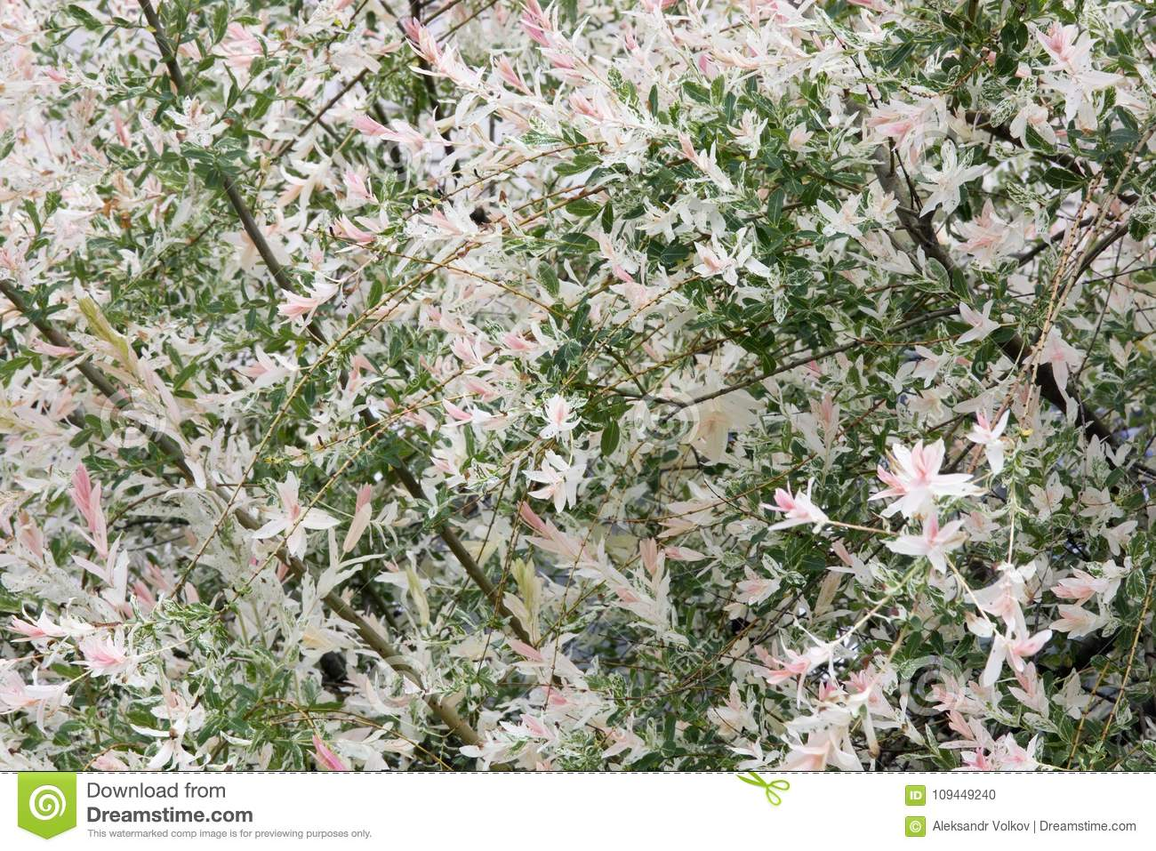 Blossoming Spring Bush With Pink Flowers Stock Photo Image Of